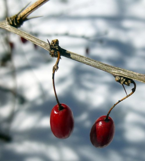 9. Barberry Berries