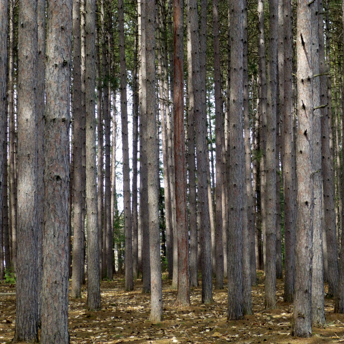 1. Pines