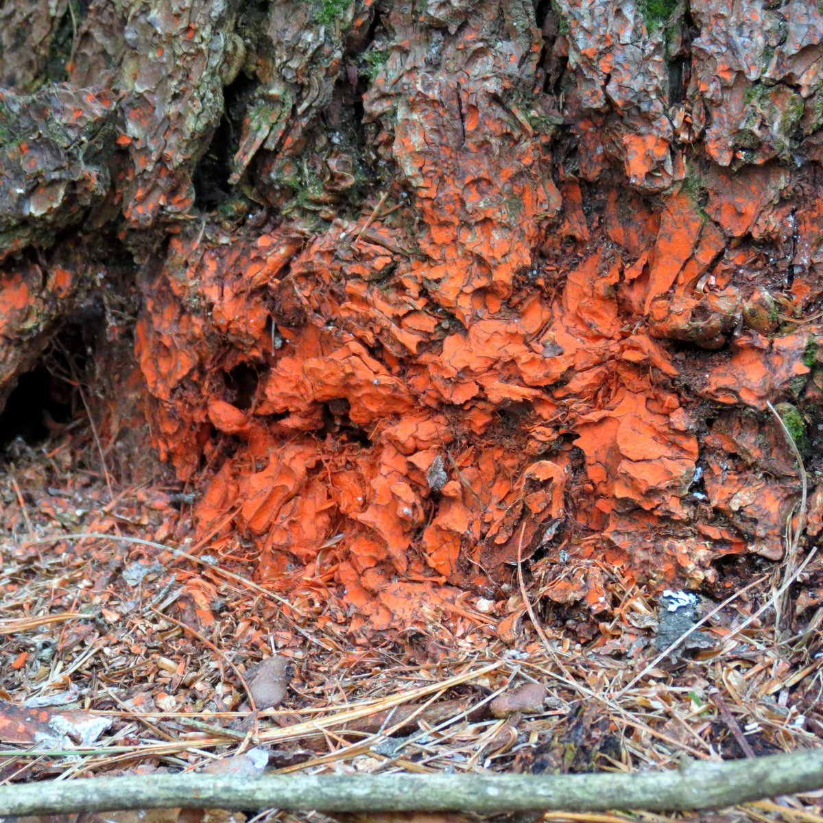 1. Red Stain on Pine Bark