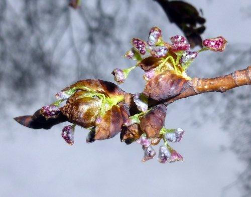 10. Elm Flowers
