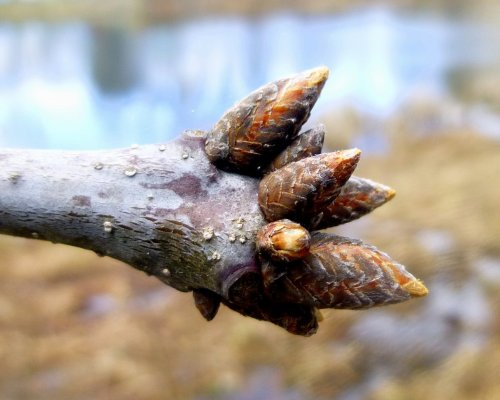 10. Oak Buds