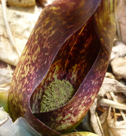 10. Skunk Cabbage Flower