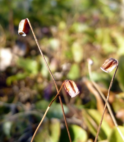 13. Mountain Haircap Moss Spore Capsules aka Polytrichastrum pallidisetum