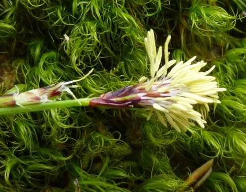 13. Sedge Flowering