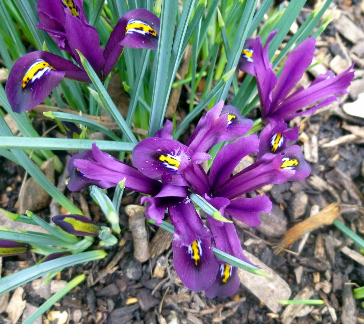 iris reticulata new hampshire garden solutions. Black Bedroom Furniture Sets. Home Design Ideas