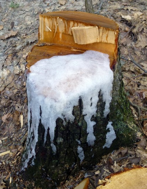 5. Frozen Tree Sap