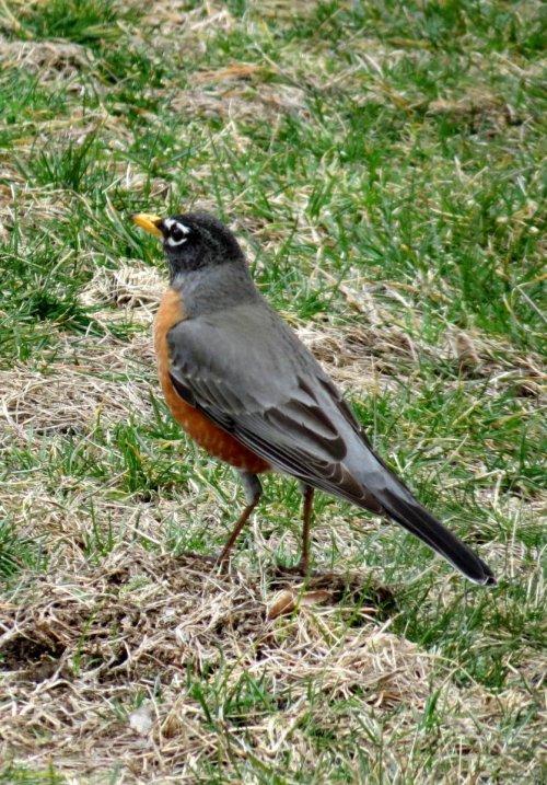 5. Robin