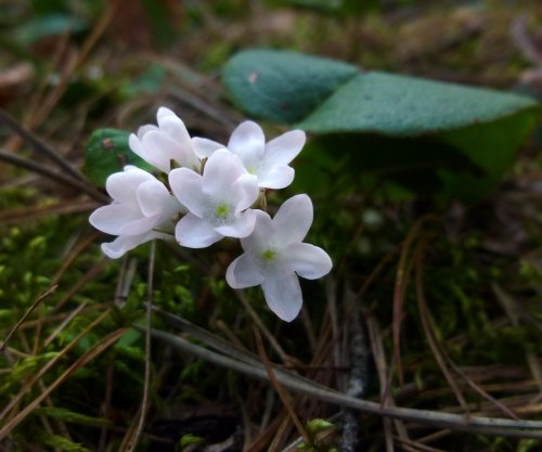 5. Trailing Arbutus Flowers