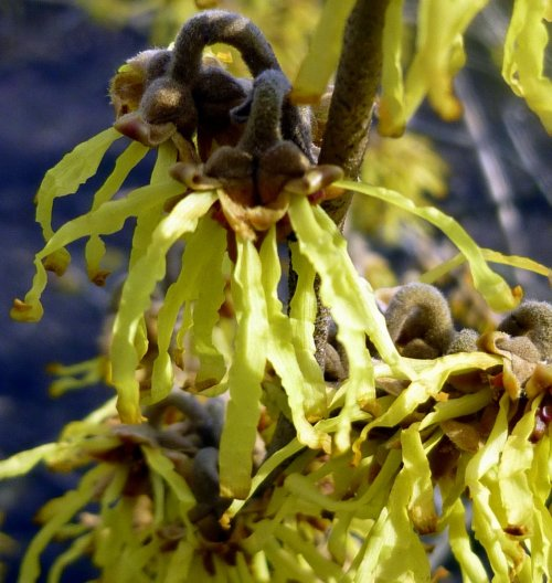 5. Vernal Witch Hazel Blossoms