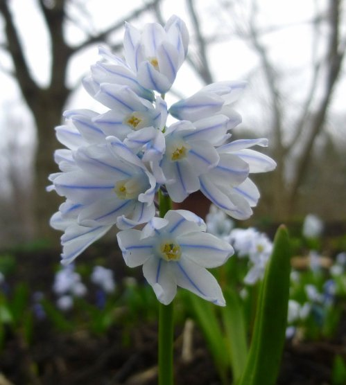 6. Striped Squill aka Puschkinia scilloides