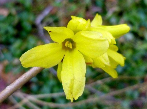 7. Forsythia Blossoms