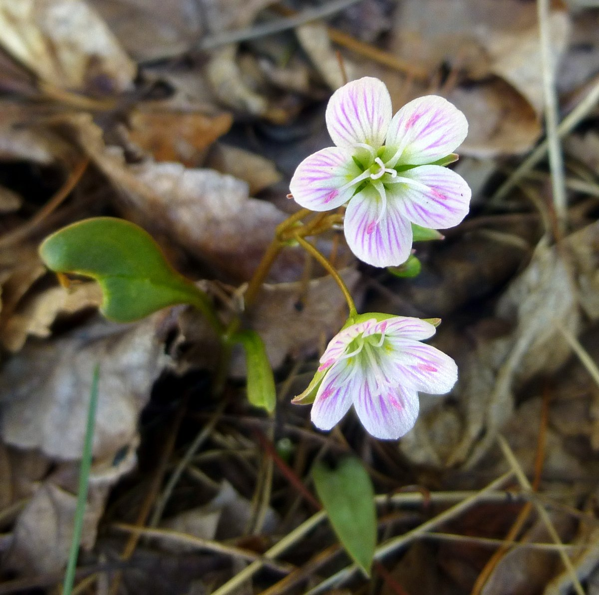 7. Spring Beauties