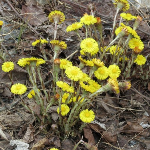 8. Coltsfoot