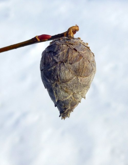 9. Pine Cone Gall on Willow