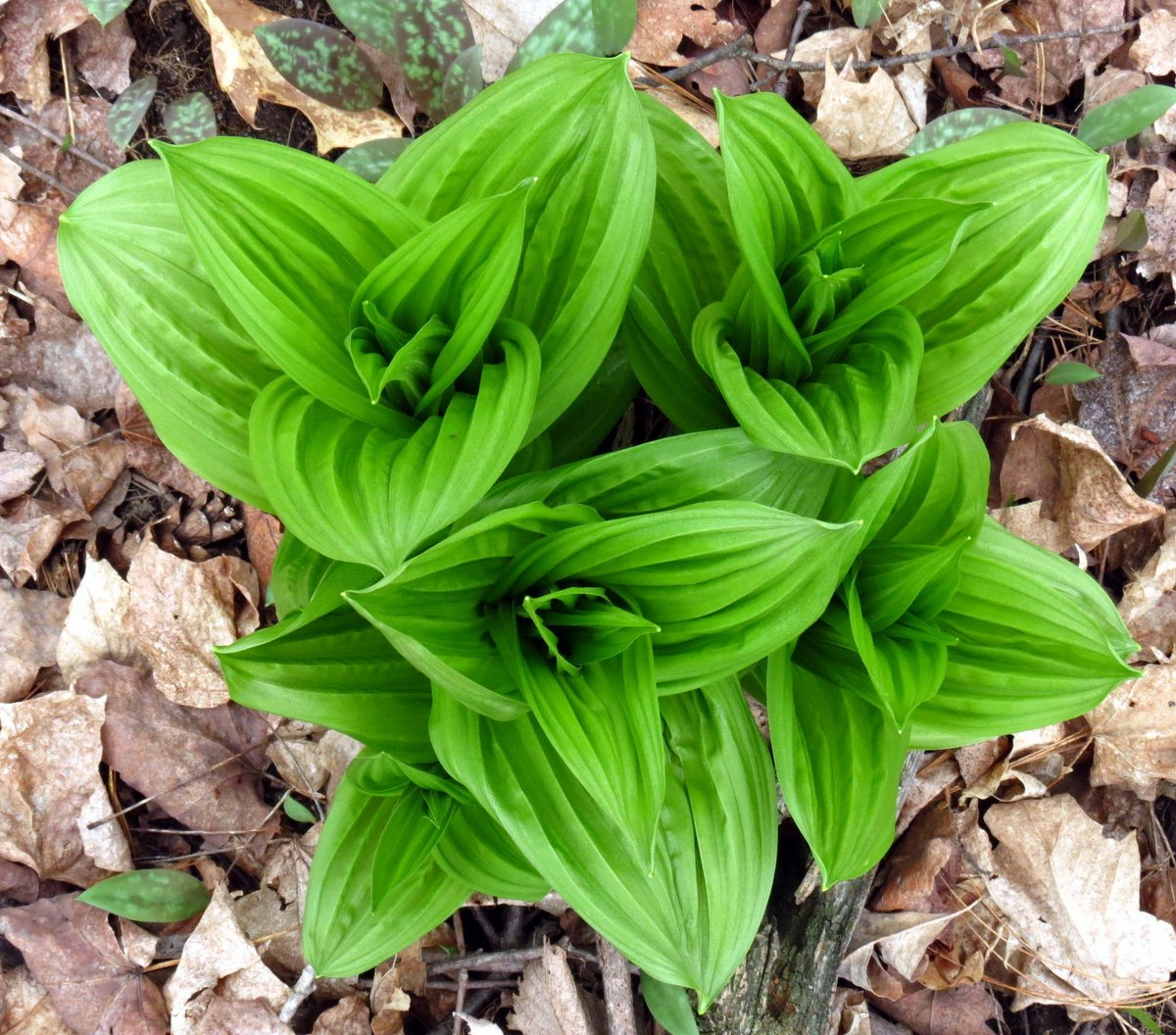 False Hellebore Top