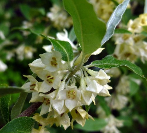 1. Autumn Olive aka Elaeagnus umbellata
