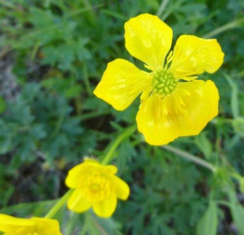 1. Bulbous Buttercup aka Ranunculus bulbosus