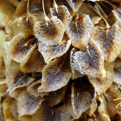 1. Curly Dock Seed Head