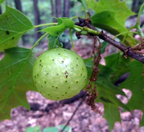 1. Oak Apple Gall
