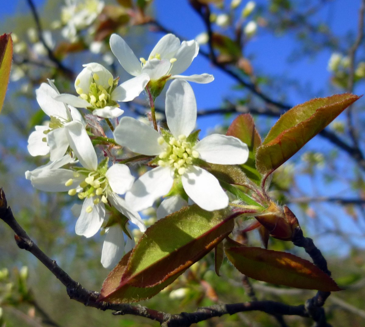 1. Wild Cherry Blossoms