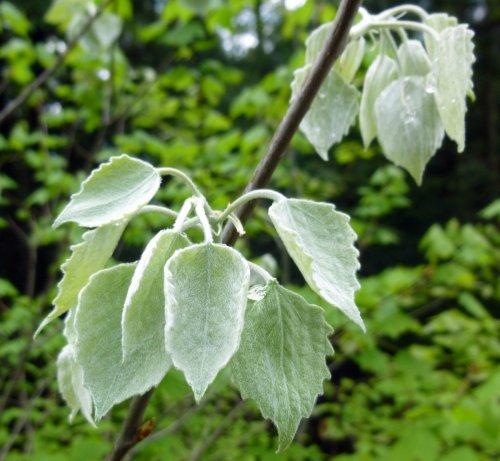10. Big Leaf Aspen Leaves