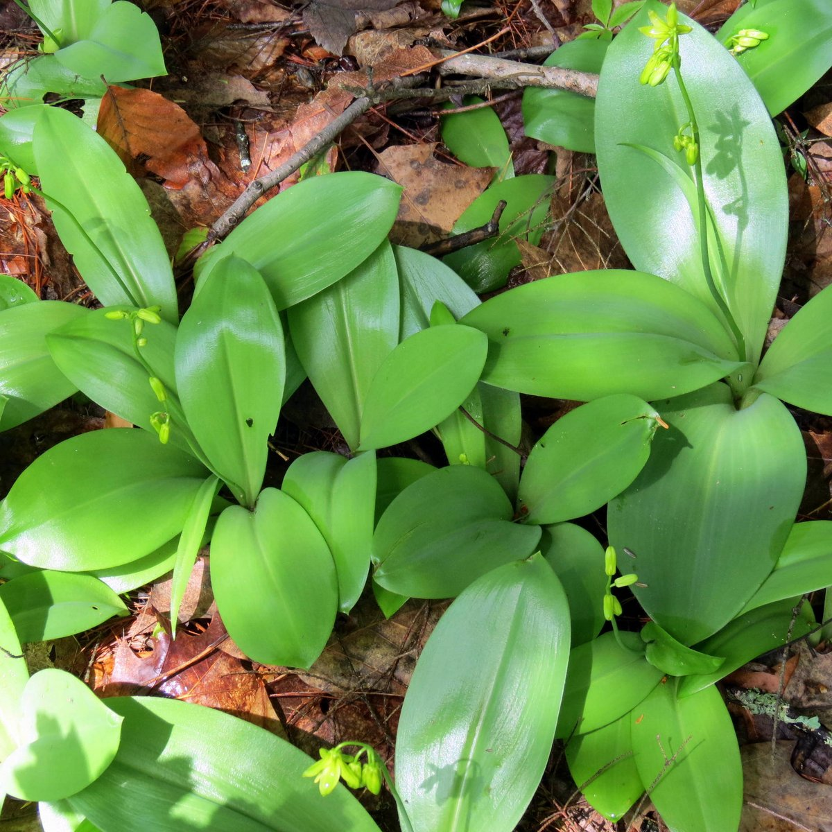 10. Blue Bead Lily