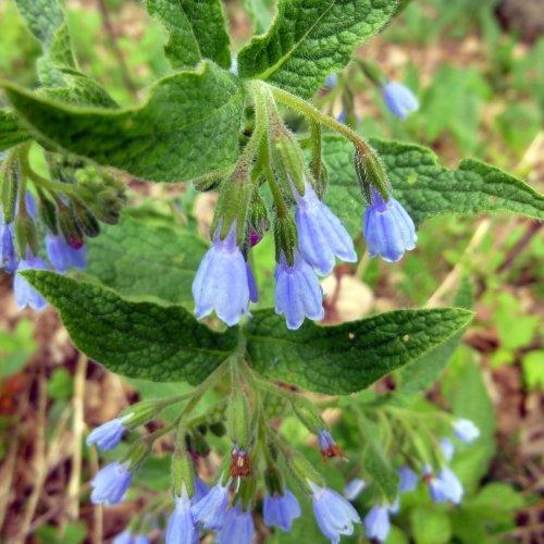 10. Comfrey Blossoms