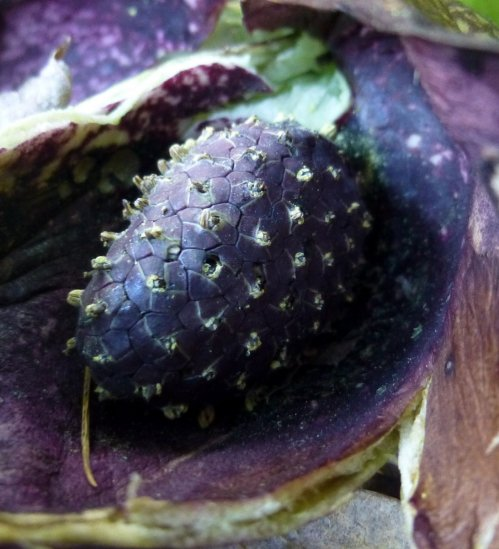 10. Skunk Cabbage Fruiting