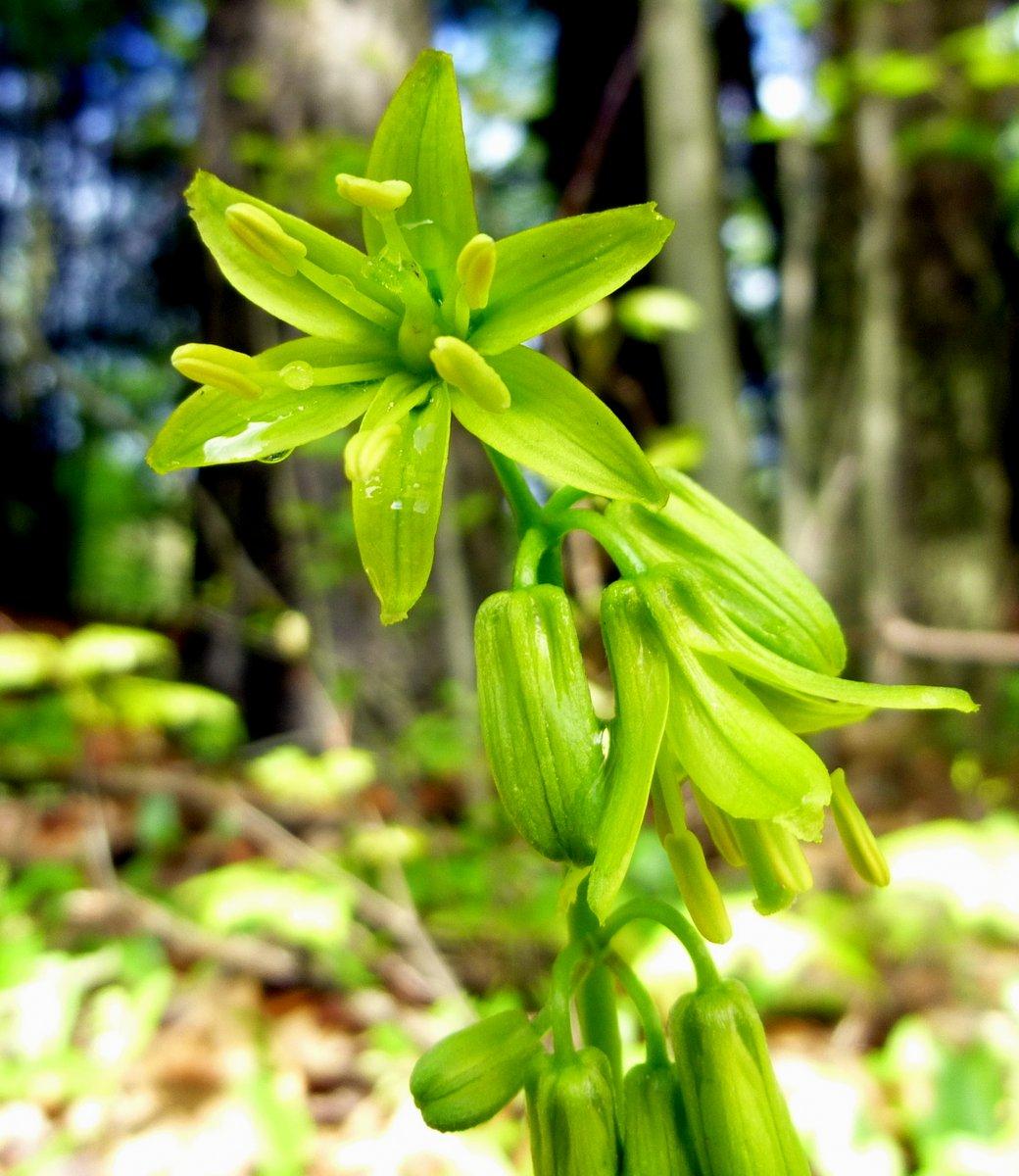 11. Blue Bead Lily