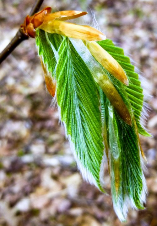 11. New Beech Leaves