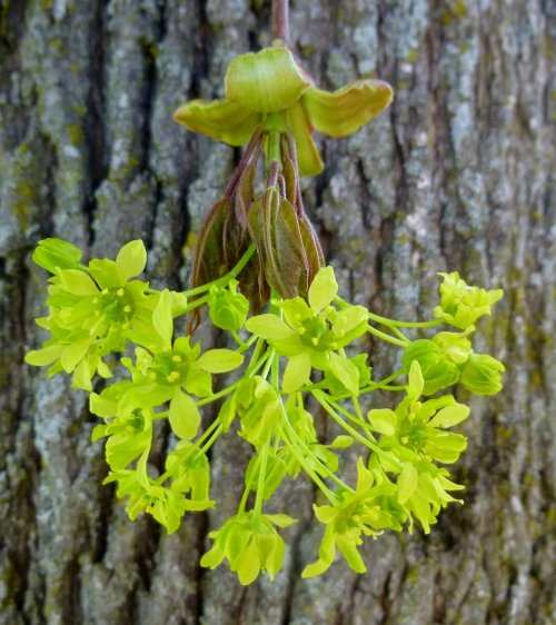 11. Norway Maple Blossoms