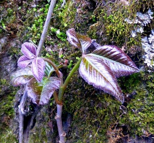 11. Poison Ivy