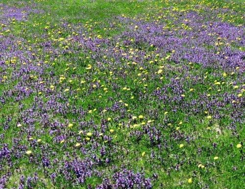 12. Dandelions and Ground Ivy