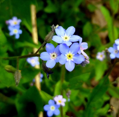 12. Forget Me Nots