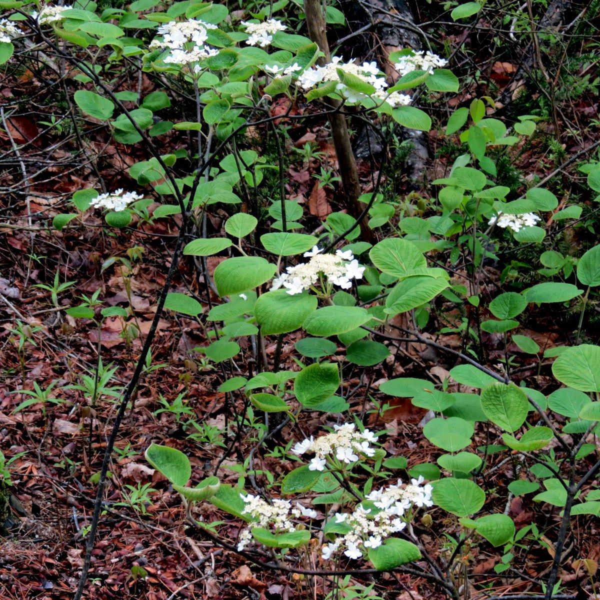13. Hobblebush Blossoms