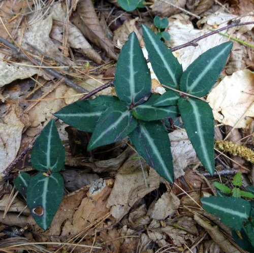 13. Striped Wintergreen