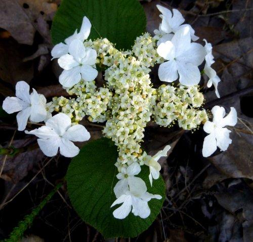 14. Hobblebush Blossoms