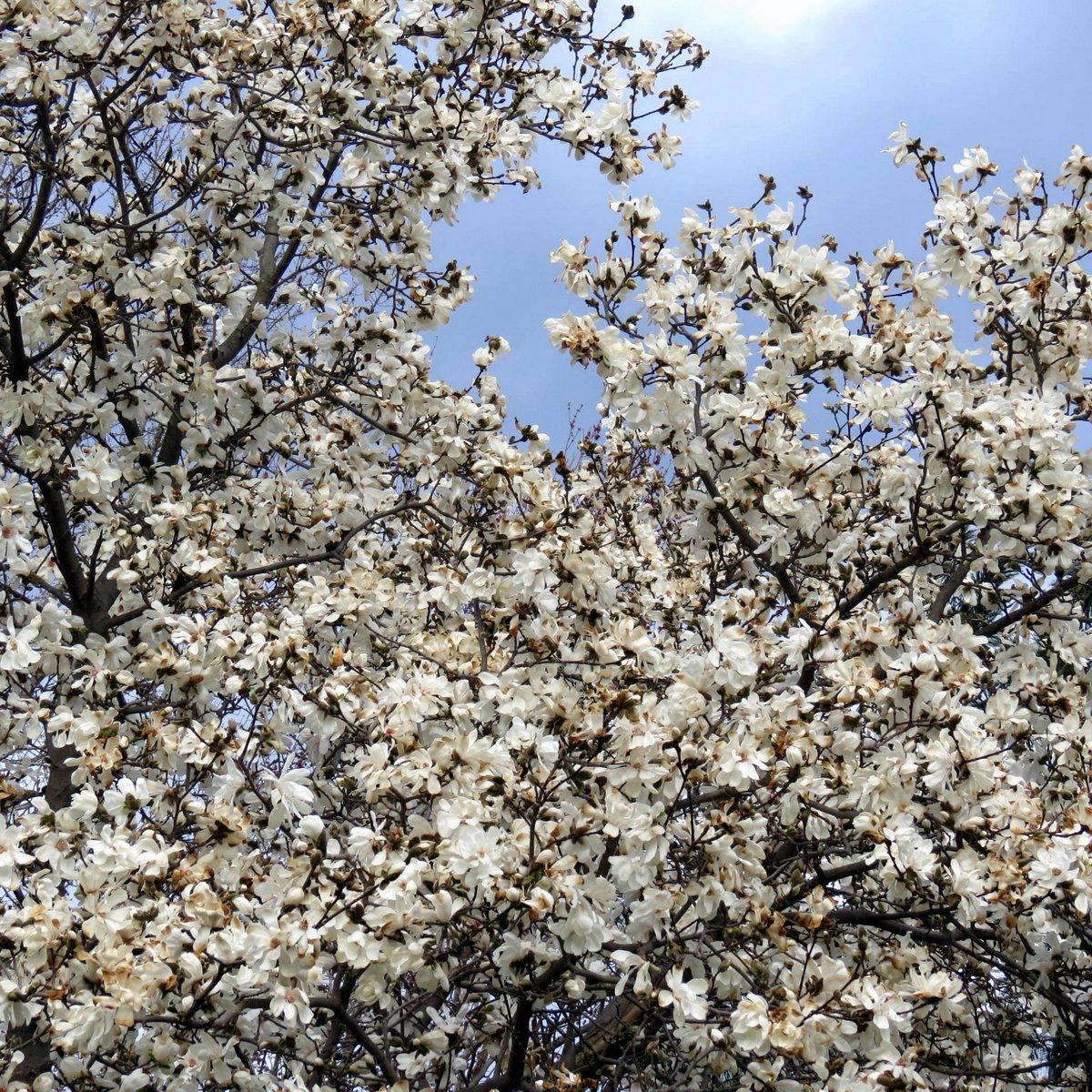 2. Magnolia Blossoms