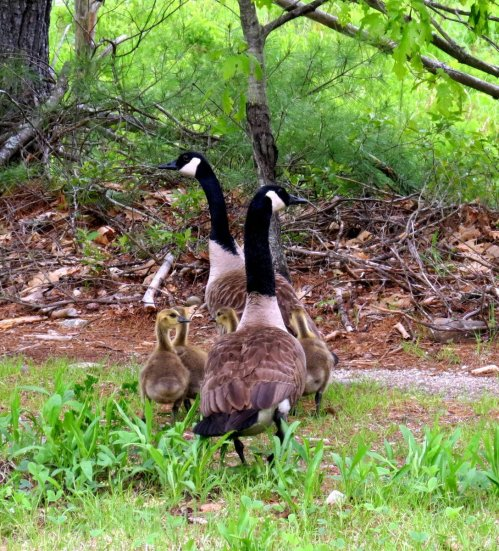 3. Canada Geese Family