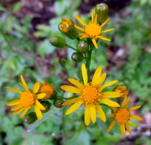 3. Golden Ragwort aka Senecio smallii