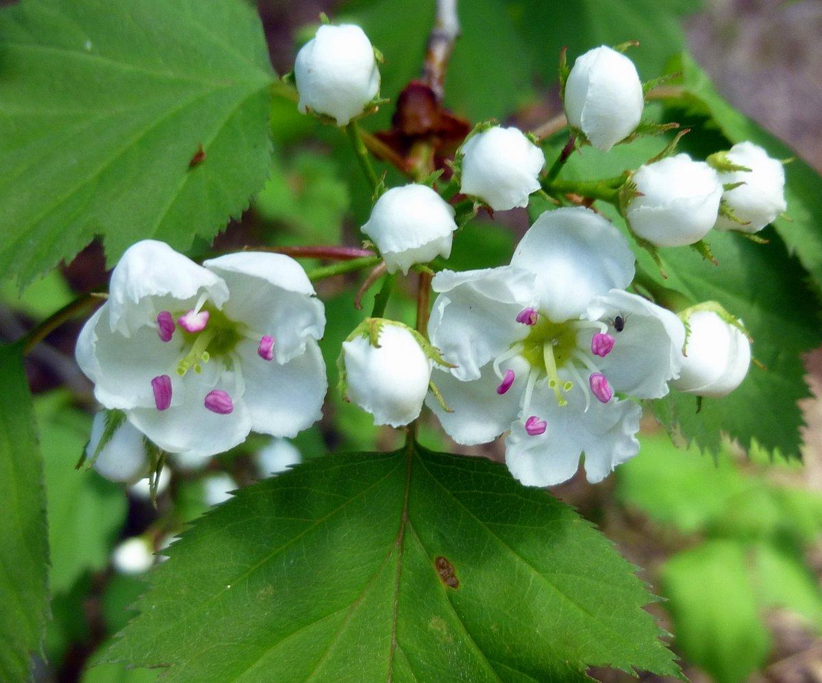 3. Hawthorn Blossoms