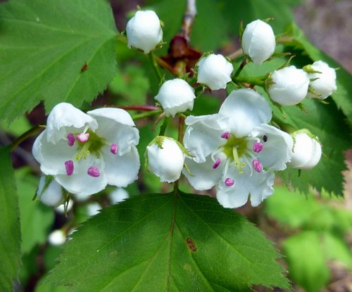 3. Hawthorn Blossoms