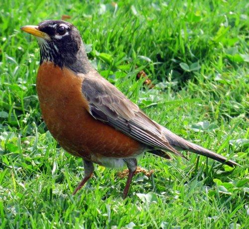 3. Robin