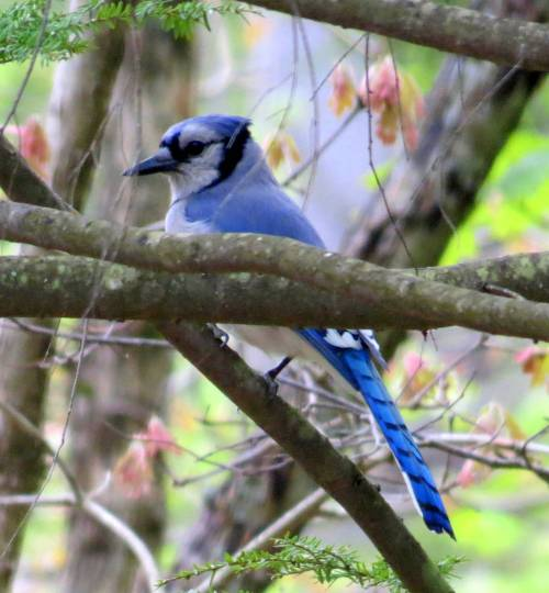 4. Blue Jay