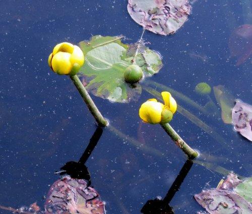 4. Bullhead Lily