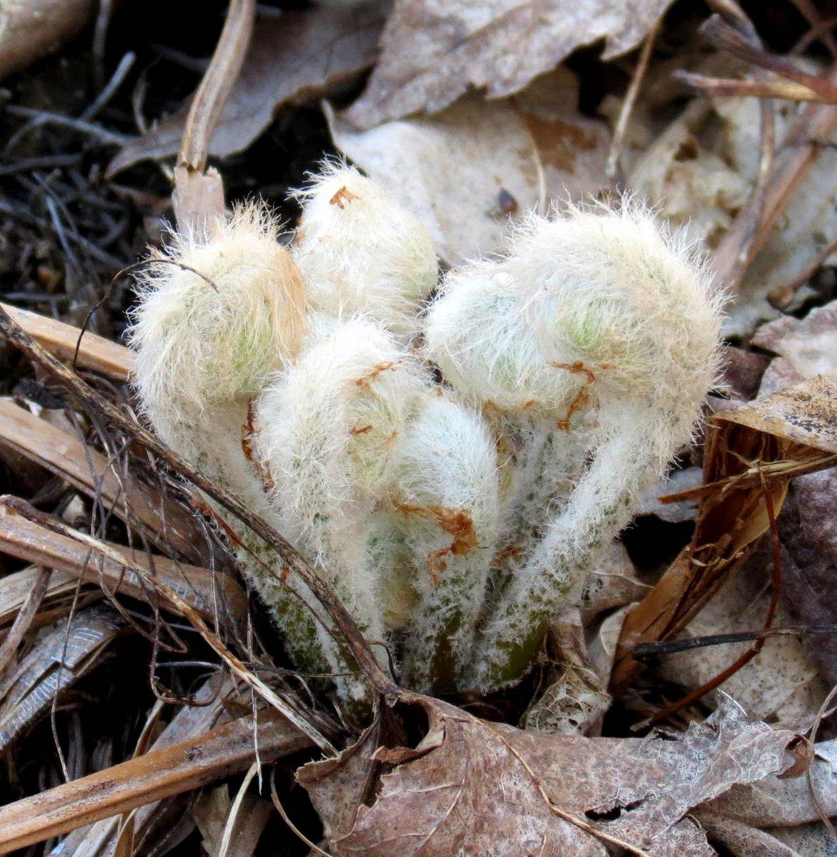 4. Furry Fiddleheads