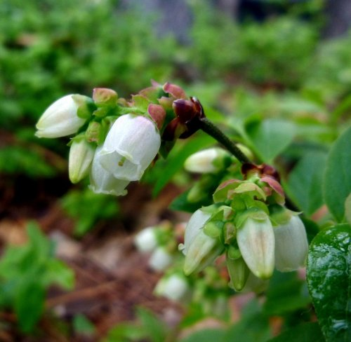 4. Low Bush Blueberry