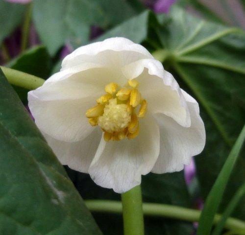4. Mayapple Blossom