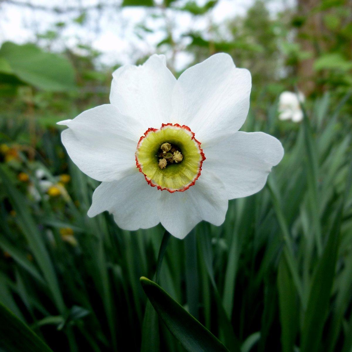 5. Pheasant Eye Daffodil aka Narcissus poeticus