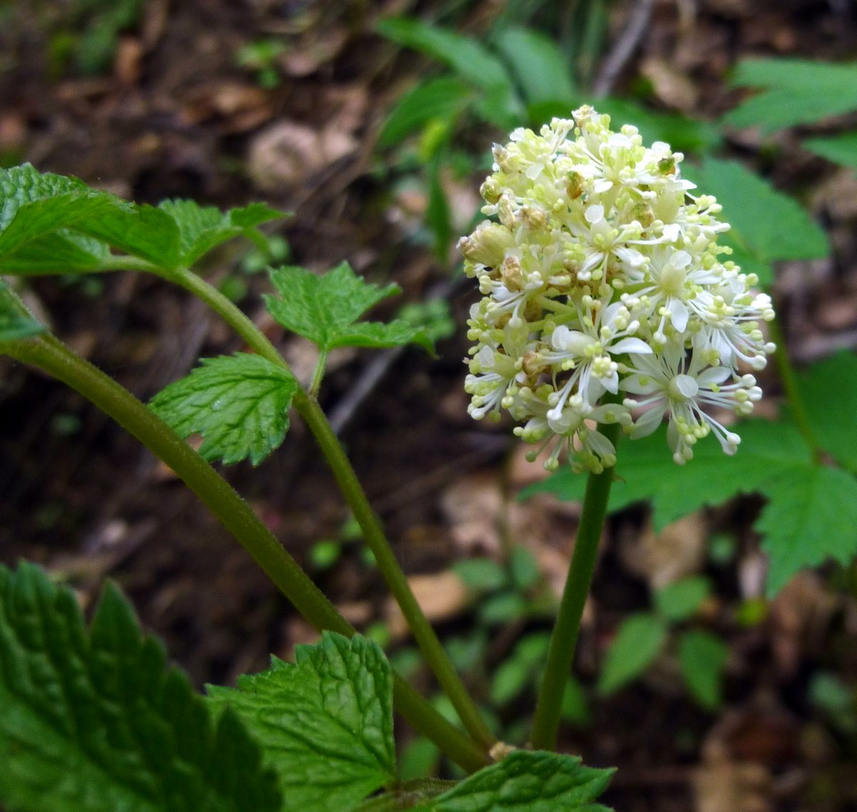6. Red Baneberry Blossoms